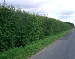 Mixed hedge containing hawthorn and field maple